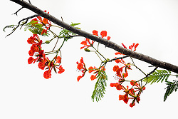Royal Poinciana Tree Delonix Regia #7