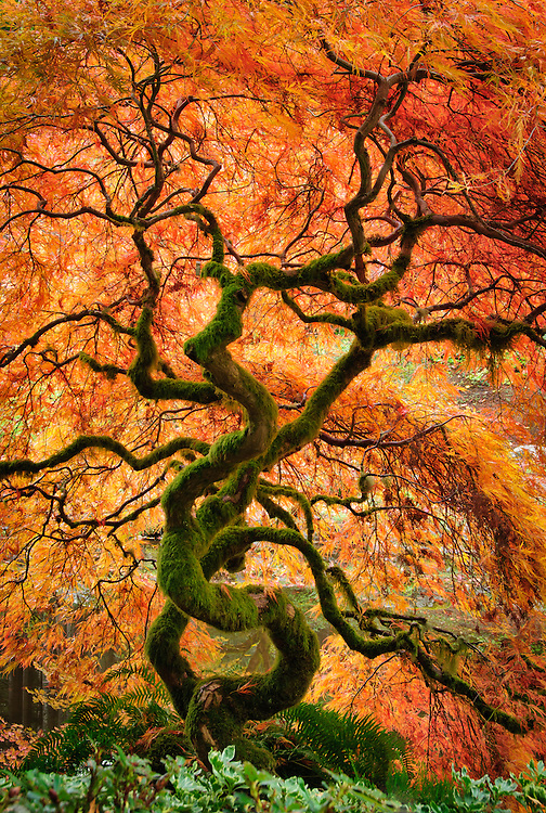 Laceleaf maple tree with fall color in the Japanese Garden at Bloedel Reserve, Bainbridge Island, Washington.