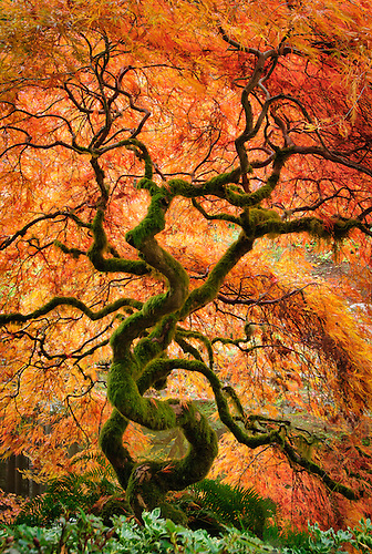 Laceleaf Maple Tree With Fall Color In The Japanese Garden At Bloedel  Reserve, Bainbridge Island.