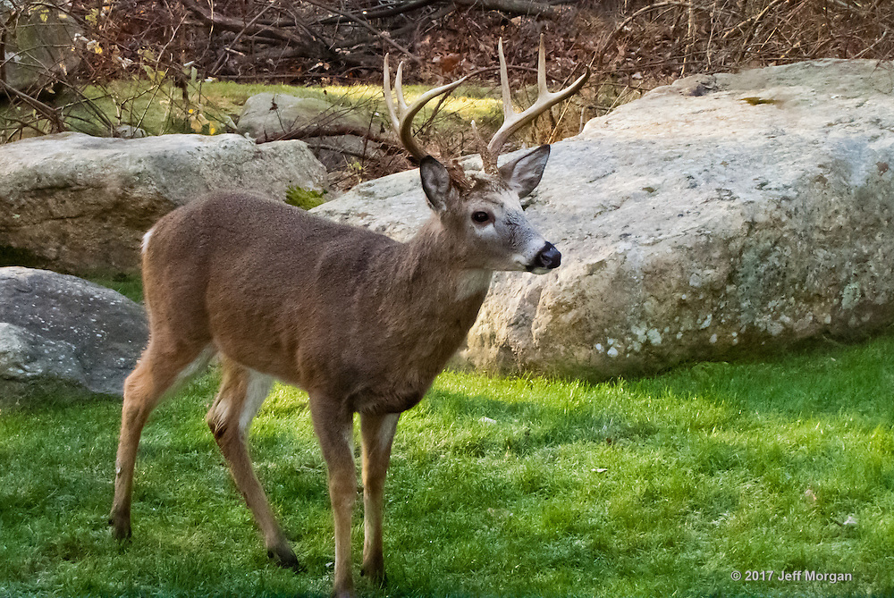 An old Buck White Tailed Deer in the yard.