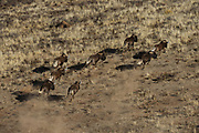 Black Wildebeest (Connochaetes gnou)<br /> Private game ranch<br /> Great Karoo<br /> SOUTH AFRICA