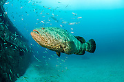 Goliath Grouper, Epinephelus itajara, near the Danny shipwreck offshore Singer Island, Florida, United States during the summer spawning aggregation.