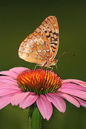 A Butterfly, The Great Spangled Fritillary, Speyeria cybele On A Purple Coneflower, Southwestern Ohio, USA