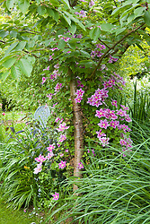 Clematis 'Piilu' trained up a tree