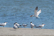 A Caspian tern with a fish flies low over a roosting flock giving courtship calls to entice a female to follow.