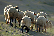 Israel Negev desert, A herd of bedouin sheep as seen from behind