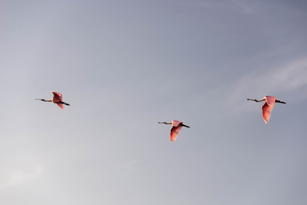 Three Roseate Spoonbills at flight during morning's first light