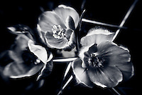Selectively focused monochrome crocus trio.