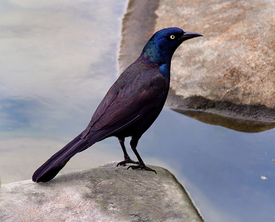 A curious purple grackle at the pond in the Japanese Gardens.