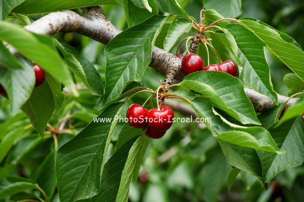 Self picking Cherry plantation Photographed at Moshav Odem, Golan Heights, Israel