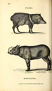 Pecari (peccary) and Babyroussa (babiroussa) from General zoology, or, Systematic natural history Vol II Part 2 Mammalia, by Shaw, George, 1751-1813; Stephens, James Francis, 1792-1853; Heath, Charles, 1785-1848, engraver; Griffith, Mrs., engraver; Chappelow. Copperplate Printed in London in 1801 by G. Kearsley