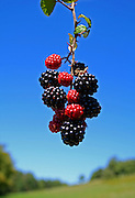 bunch of blackberries on blue sky