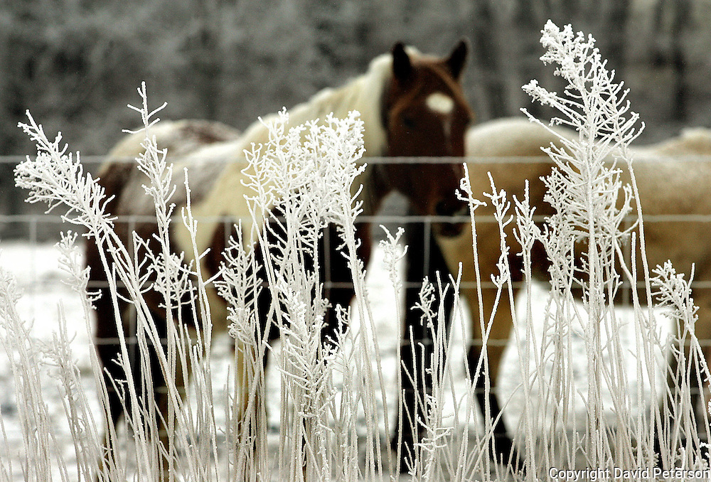 On a frosty morning in rural Dallas County, horses stand in a snow field, as major winter storm moved through Iowa.