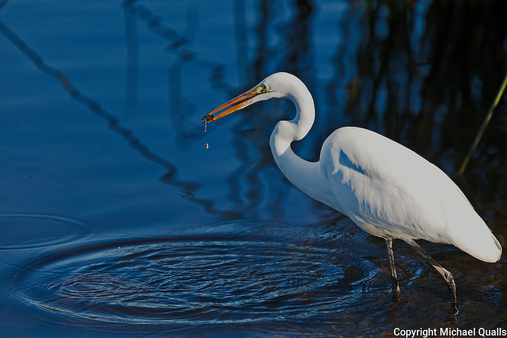 Great Egret at the moment of the catch.  On the shore of Lake Murray, water drops are cascading from the small fish.