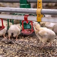 Nederland, Vessem, 1 april 2016.<br /> klik een willekeurig pers- of nieuwsbericht aan, en je ziet inderdaad dat de term &lsquo;duurzaam&rsquo; vaak verkeerd gebruikt wordt en alleen op dierenwelzijn slaat.<br /> De Brabantse pluimveehouder Marcel Kuijpers wil daar verandering in brengen door een korte keten te cre&euml;ren zonder transport. <br /> In zijn huidige stal, in de buurt van het Brabantse dorp Vessem, is net een nieuwe lichting eieren binnengekomen. Met enige worsteling wurmen de natte, donzige kuikentjes zich uit hun schalen, om zich na een half uurtje uitrusten gretig op het voedsel en drinkwater te storten. Binnenin de stal is het meer dan 33 graden. Kuijpers loopt langs de &lsquo;patio&rsquo;; vier rijen van zes lagen boven op elkaar, met in totaal 30.000 vleeskuikens.<br /> Zijn plan is &ndash; al meer dan tien jaar &ndash; om dat aantal uit te breiden naar bijna &eacute;&eacute;n miljoen. In het Limburgse Grubbenvorst wil hij een &lsquo;duurzame megastal&rsquo; bouwen. De Raad van State moet echter nog een besluit nemen over de vergunningen. Gevoelig, want het zou de grootste kippenstal in Nederland worden. Gemiddeld hebben &lsquo;megastallen&rsquo; ongeveer 150.000 kippen. Het plan stuit dan ook van begin af aan op hevige weerstand van actiegroepen en dierenwelzijnsorganisaties. <br /> Kuijpers zegt echter in volle overtuiging dat zijn project &lsquo;duurzaam en diervriendelijk&rsquo; is. Naast de megastal moet een bio-energiecentrale, een broederij en een slachterij komen. Ook zit er even verderop een varkensbedrijf en het is de bedoeling dat de glastuinbouw gaat meedoen. De ondernemers verenigen zich samen onder de naam &lsquo;Nieuw Gemengd Bedrijf&rsquo;. <br /> ,,Integrale duurzaamheid,&rdquo; noemt Kuijpers het. De mest wordt gebruikt om de stallen te verwarmen en het transport valt weg doordat alles op &eacute;&eacute;n locatie zit. ,,Geen gesleep meer met kippen. Daardoor daalt het stressniveau, voelen de kippen zich beter en wordt het vlees