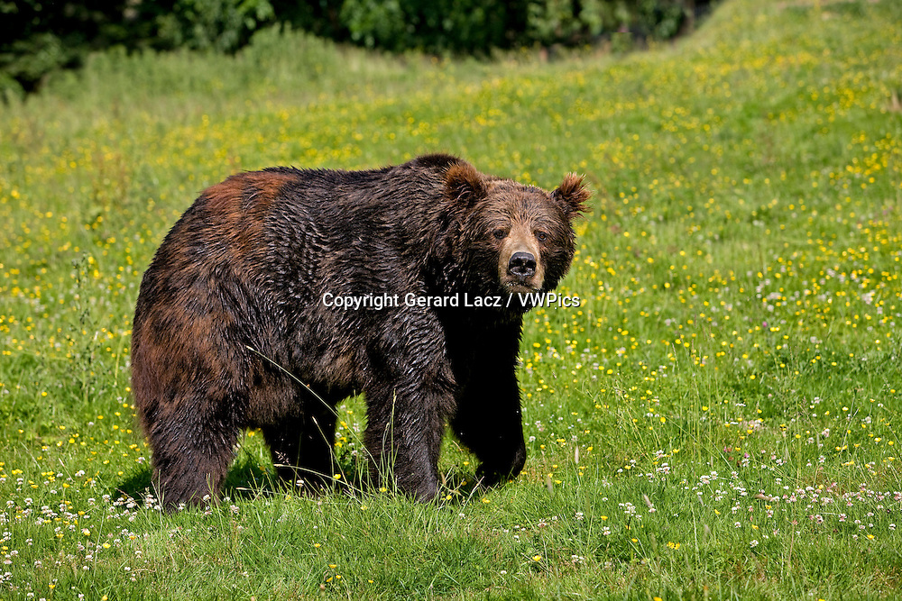 Brown Bear, ursus arctos, Adult with Flowers