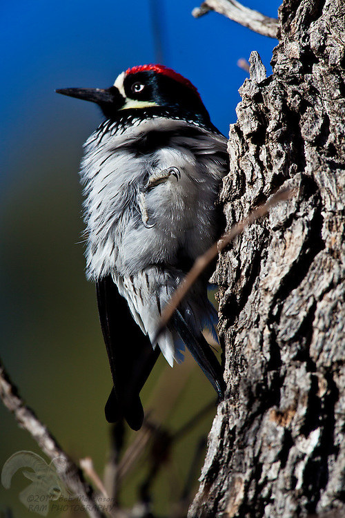 An Acorn Woodpecker rests on a the trunk of a Ponderosa Pine near Show Low, Arizona.