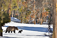Grizzly sow, new cub, Yellowstone National Park