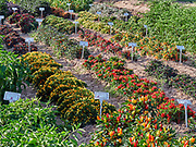 U.S.A., New Mexico. Las Cruces, New Mexico State University chili garden.