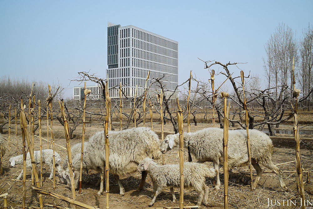 Sheep graze in front of a building in Hebei, on the outskirts of Beijing, where rural land is increasingly destroyed to make way for urbanisation. <br /> <br /> China is pushing ahead with a dramatic, history-making plan to move 100 million rural residents into towns and cities over six years &mdash; but without a clear idea of how to pay for the gargantuan undertaking or whether the farmers involved want to move.<br /> <br /> Moving farmers to urban areas is touted as a way of changing China&rsquo;s economic structure, with growth based on domestic demand for products instead of exporting them. In theory, new urbanites mean vast new opportunities for construction firms, public transportation, utilities and appliance makers, and a break from the cycle of farmers consuming only what they produce.<br /> <br /> Urbanization has already proven to be one of the most wrenching changes in China&rsquo;s 35 years of economic reforms. Land disputes rising from urbanization account for tens of thousands of protests each year.