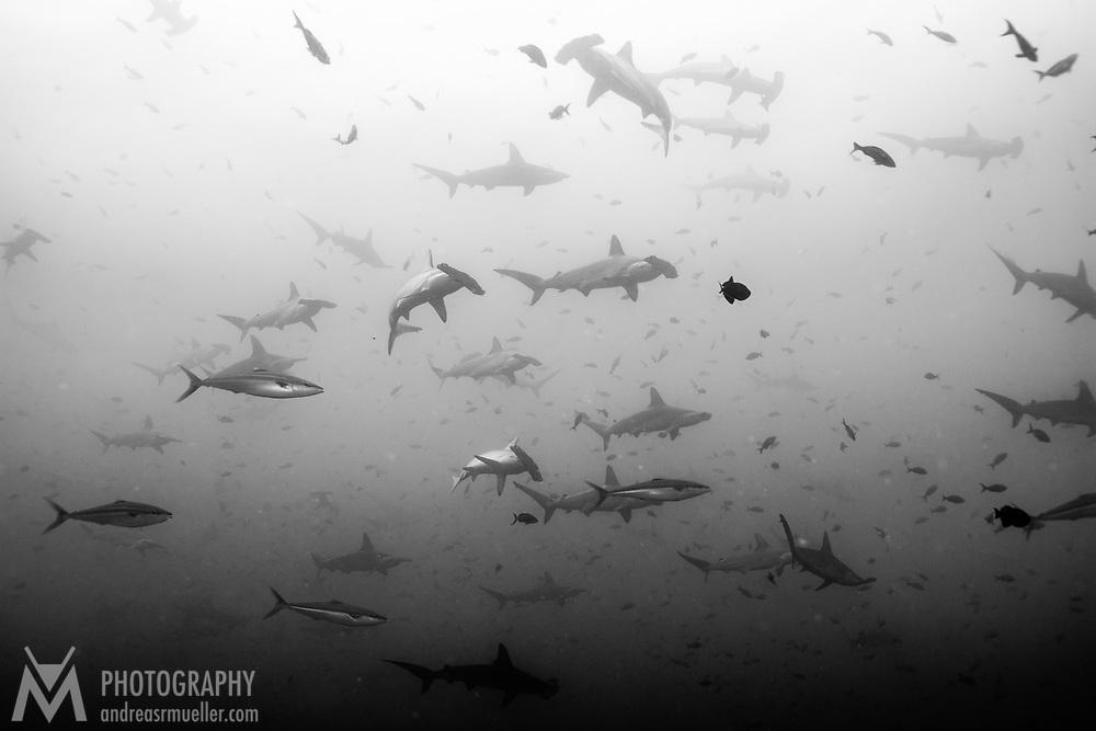 Cocos Island, Dive Spot: Small Dos Amigos