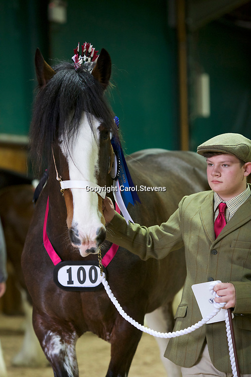 Shire Horse Society Spring Show 2017 Around the Showground<br /> Mr N Andrews and MANOR FARM MONDAY GIRL   Senior Mare