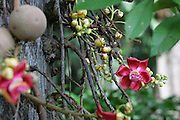 Cannonball tree, Foster Botanical Gardens, Honolulu, Oahu, Hawaii<br />