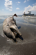 8/7/2010  Dead dolphin washed up on beach in Plaquemines Parish along with tar balls over 100 days after the BP oil disaster began.