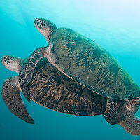 A pair of mating Green Turtles, Chelonia mydas, Sipadan Island, Sabah, Malaysia