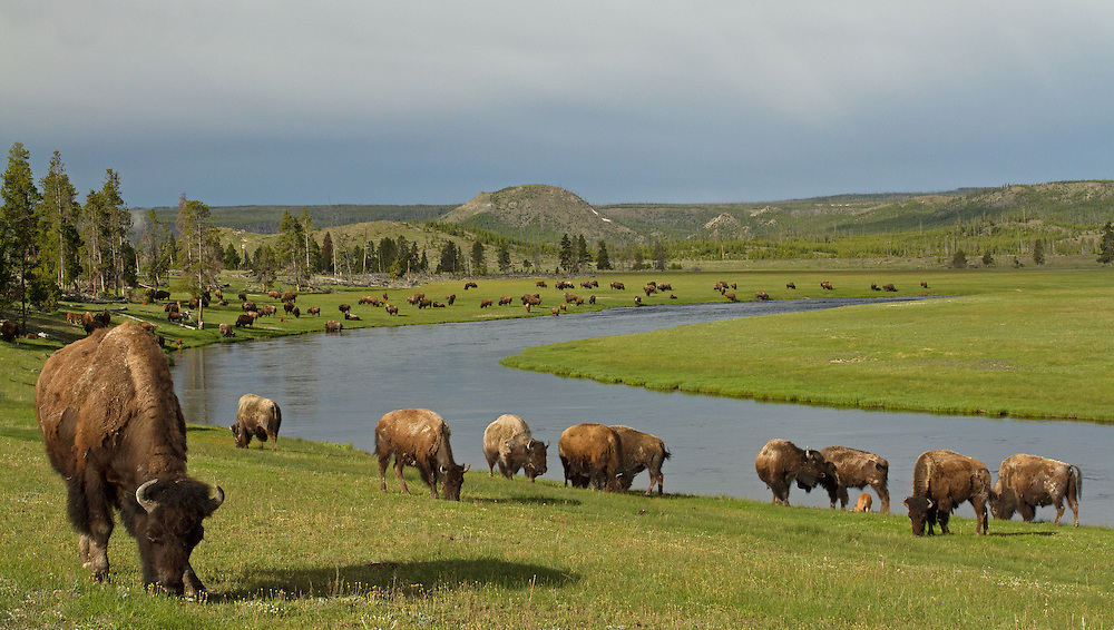 A large herd of bison cows and calves gather in the Fountain Flats area of Yellowstone National Park in early June.  During mid-spring, these herds return to the lush meadows of Yellowstone after wintering outside the Park near West Yellowstone, Montana.