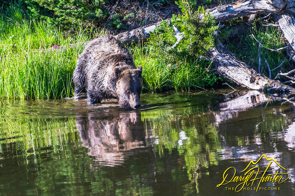 A grizzly sneaks upon on her reflection to get a long drink of water  and maybe to see if she looks OK. Grizzly bears are increasing in number in Northwest Wyoming.