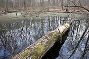 Vernal Pool - Delmarva Bay; seasonal wetland; DE, New Castle Co., Blackbird State Forest; late winter;