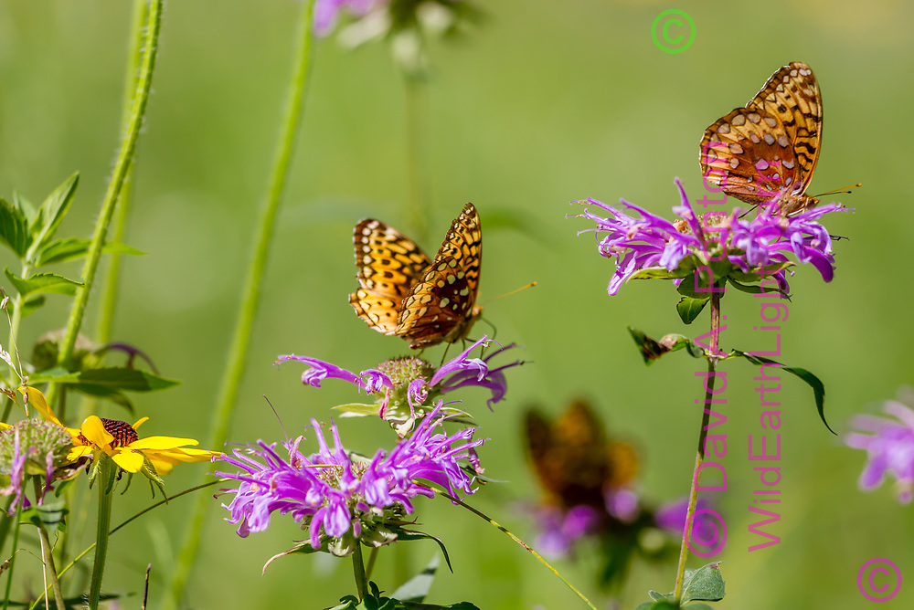 Fritillary butterflies feeding on horsemint blossoms , with black-eyed Susan blossom, mountain wildflower meadow, Jemez Mountains, NM. © 2010 David A. Ponton