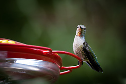 An adult female Anna's hummingbird, Calypte anna, perched at a backyard feeder in Portland, Oregon