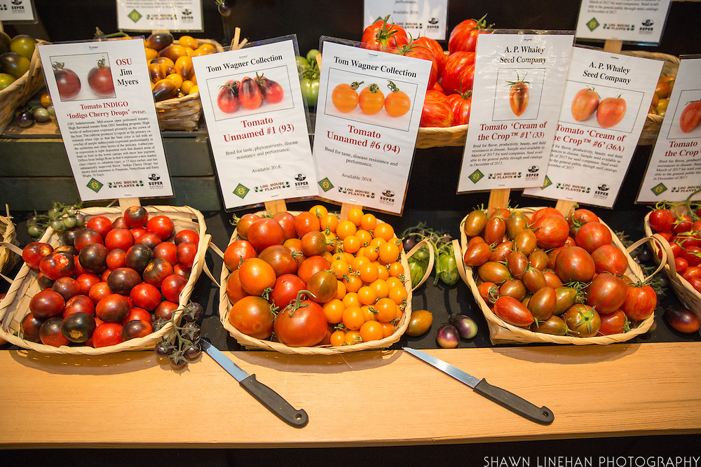 TOMATO, Solanum lycopersicum Showcase: 'S276' Indigo breeding line<br />