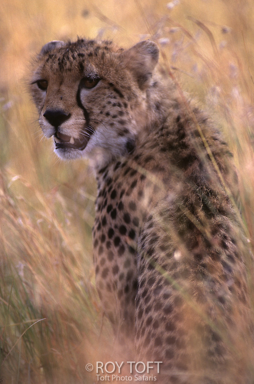 A portrait of a cheetah (Acinonyx jubatus) sitting camouflaged in the brush, Masai Mara National Reserve.
