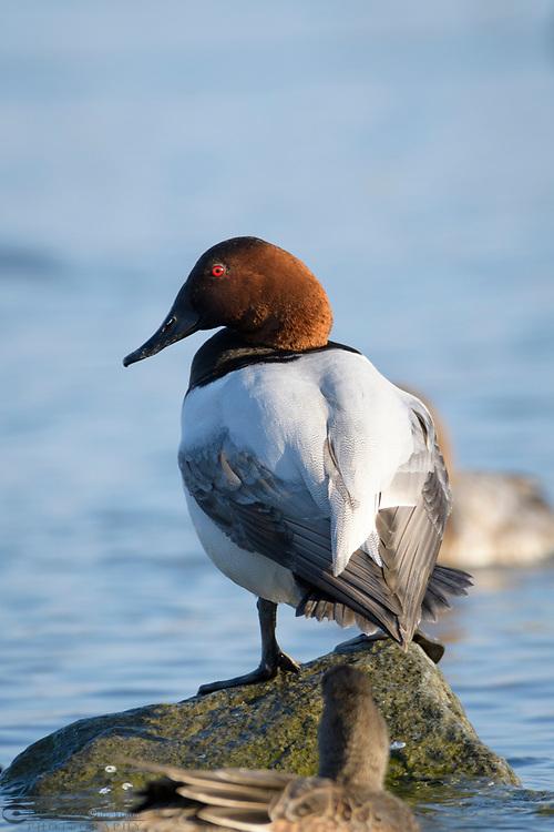 Canvasback Ducks  (Aythya valisineria) on the Chesapeake Bay, near Cambridge, Maryland, U.S.A.