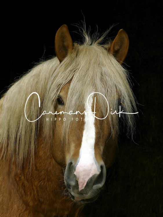 Stallion<br /> Meerdonk 2003<br /> © Dirk Caremans