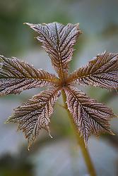 Shiny new leaves of Rodgersia podophylla