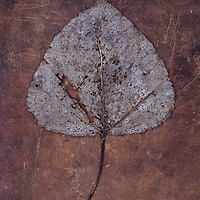 Damaged autumn or winter leaf of Black poplar or Populus nigra tree lying on scuffed leather