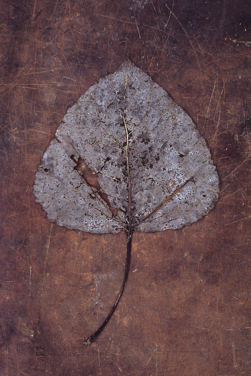 Damaged autumn or winter leaf of Black poplar or Populus nigra tree lying on scuffed leather