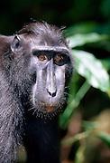 Celebes Celebes Crested Macaque are always watching each other. | Die Schopfmakaken beobachten sich immer gegenseitig in der Gruppe.