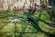 """Der English Setter Welpe """"Rudy"""" mit einer Katze am 01.04.2017 im Garten.  Rudy wurde Anfang Januar 2017 geboren und ist gerade zu seiner neuen Familie umgezogen."""