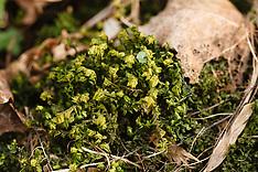 Levermossen, Marchantiophyta