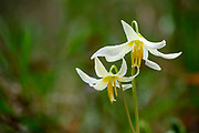 Oregon Fawn Lily blooming at Mount Pisgah Arboretum, Willamette Valley, Oregon.