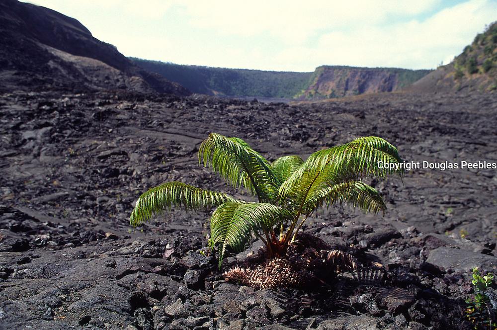 Ama'u fern, Kilauea Iki, Island of Hawaii<br />