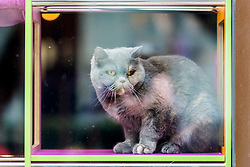 © Licensed to London News Pictures. 21/03/2020. Leeds UK. A cat looks out of the window of the Kitty Cafe in Leeds city centre that has been closed due to the Covid 19 outbreak. Photo credit: Andrew McCaren/LNP