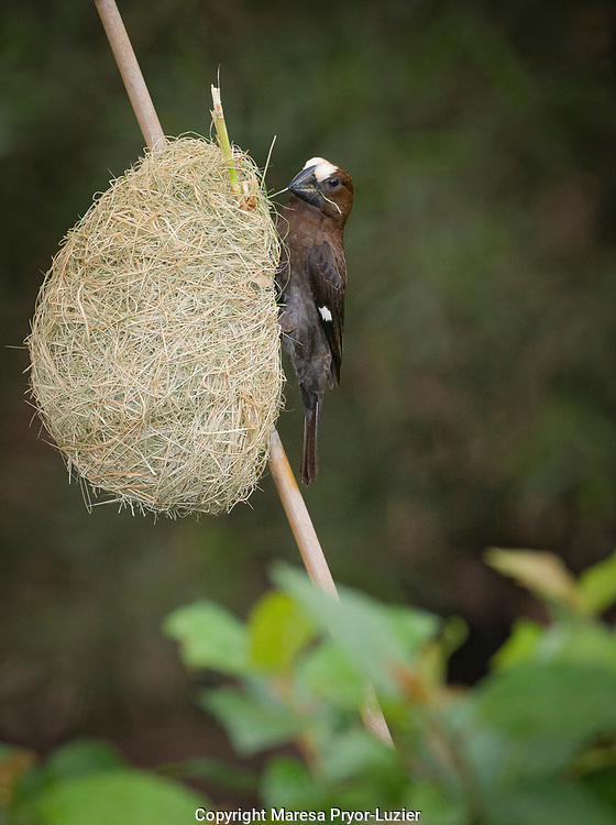 Thickbilled Weaver, Amblyospiza albifrons, Hluhulwe Game Reserve<br /> South Africa