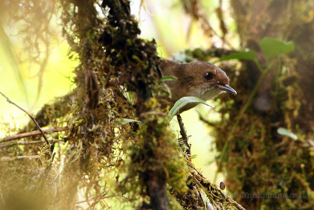 Mountain Mouse-warbler, Crateroscelis robusta, Papua New Guinea, by Markus Lilje