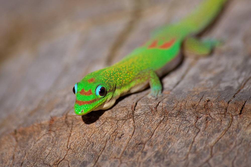 Madagascan day gecko (Phelsuma madagascariensis grandis)